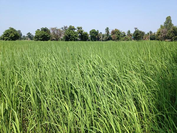 原料米のお米について